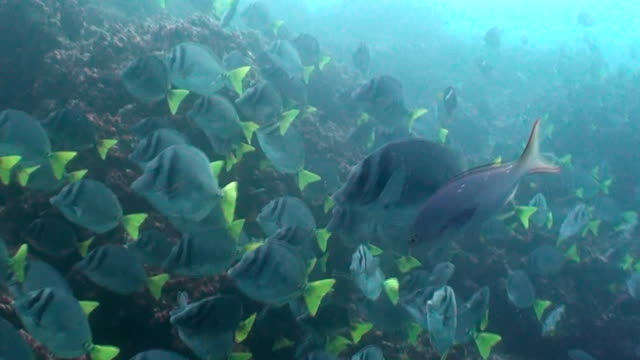 a very large school of surgeonfish feeding on the coral reef, galapagos islands, ecuador. - surgeonfish stock videos and b-roll footage