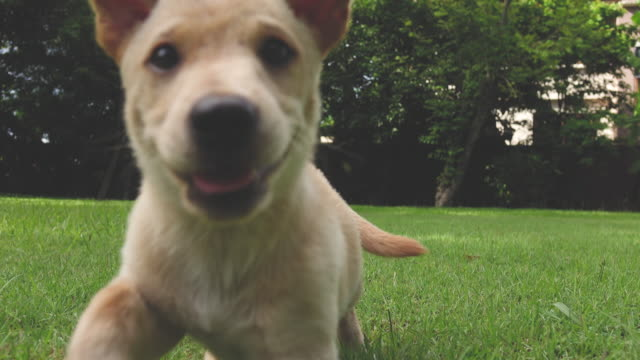 vídeos de stock e filmes b-roll de a very little puppy is running happily through a garden with green grass - cachorro