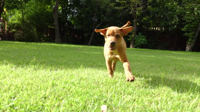A very little puppy is running happily through a garden with green grass