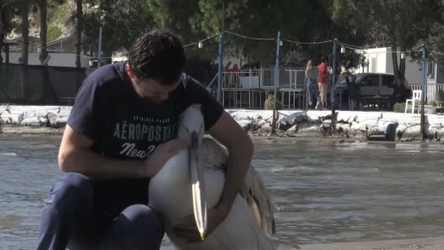 very rare and heartwarming friendship between a dalmatian pelican and a fisherman who rescued its life, draws people's attention in turkey. fishing... - pelican stock videos & royalty-free footage