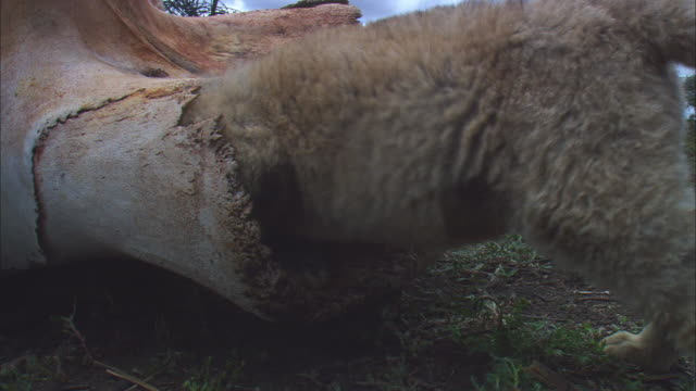 ECU very young African lion cub crawls into tusk hole in elephant skull very close to camera