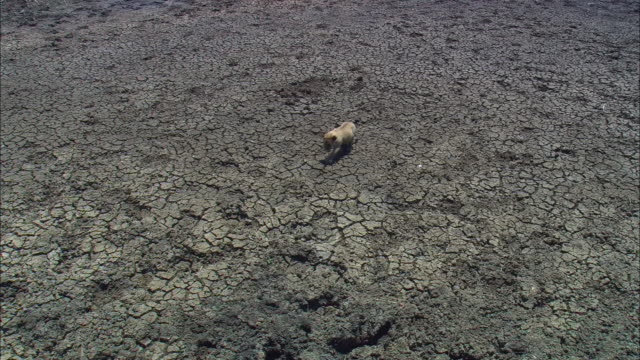 ha ws very young african lion cub crossing dried out mud - dry stock-videos und b-roll-filmmaterial