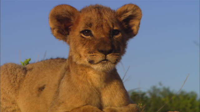 CU very young African lion cub in evening light looking around intently then lying down