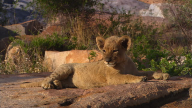 MS very young African lion cub lying on rock falling asleep