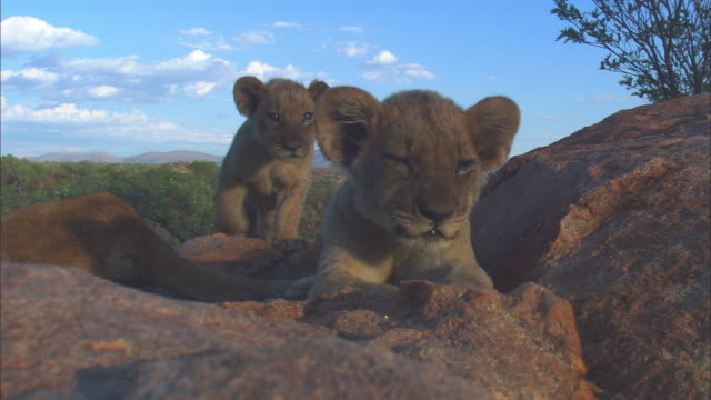 ms very young african lion cub on top of rocky outcrop joined by second cub - outcrop stock videos & royalty-free footage