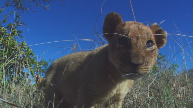 CU very young African lion cub sitting close to camera