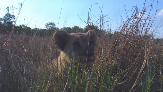 vídeos y material grabado en eventos de stock de cu very young african lion cub surprised by elephant trunk and runs off - nariz de animal