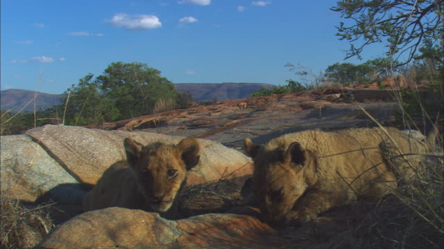 2 very young african lion cubs eat close to camera on rocky outcrop - outcrop stock videos & royalty-free footage