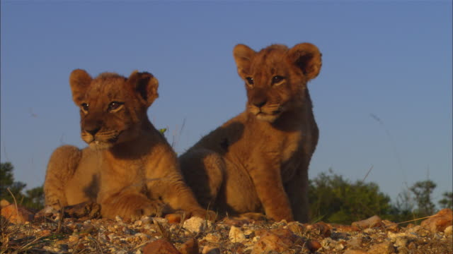 2 very young african lion cubs look around in synchrony in grass very close to camera in evening light then walk off - lion cub stock videos & royalty-free footage