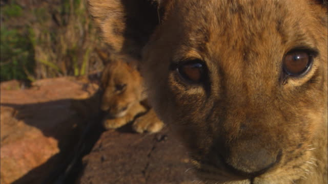 2 very young African lion cubs look around on rocky outcrop and third fills shot very close to camera and looks directly into lens