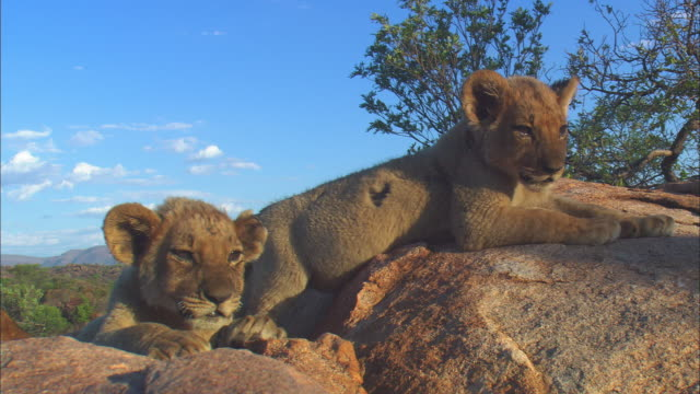 2 very young african lion cubs look out from top of rocky outcrop  - outcrop stock videos & royalty-free footage