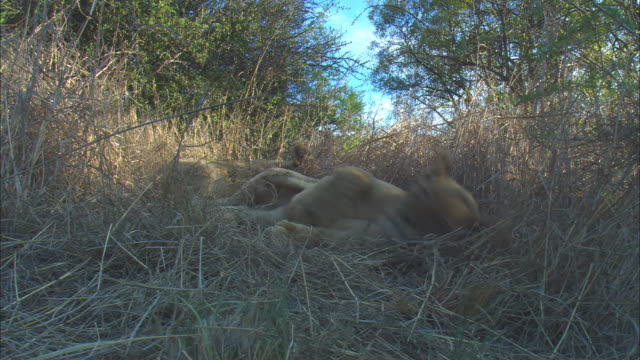 2 very young African lion cubs lying in long grass under trees very close to camera