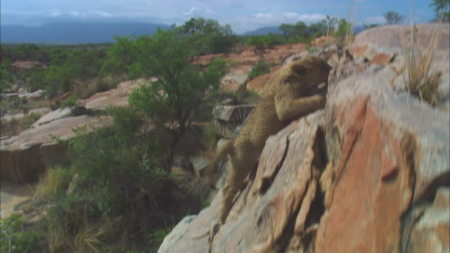 ha 2 very young african lion cubs scrambling up face of rocky outcrop - outcrop stock videos & royalty-free footage