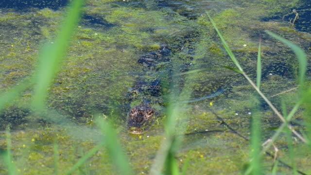 vídeos y material grabado en eventos de stock de very young alligator moving in the water - salir del agua