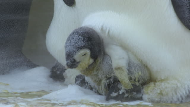 CU Very young Emperor penguin chick on parents feet shivering in blizzard / Dumont D'Urville Station, Adelie Land, Antarctica