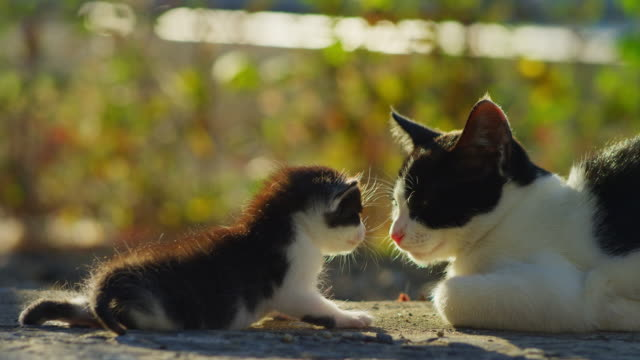 vidéos et rushes de very young feral domestic kitten nuzzles parent which runs away - famille d'animaux