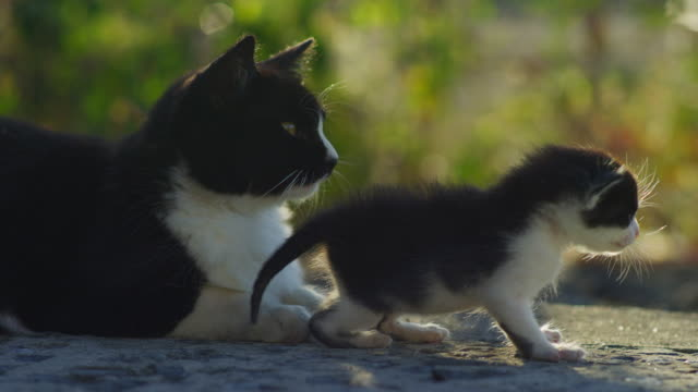 very young feral domestic kitten walks unsteadily by parent - 動物の集まり点の映像素材/bロール