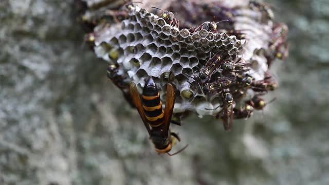 vespa mandarina (asian giant hornet) invading honeycomb of polistes chinensis (paper wasp) - rock face stock videos & royalty-free footage