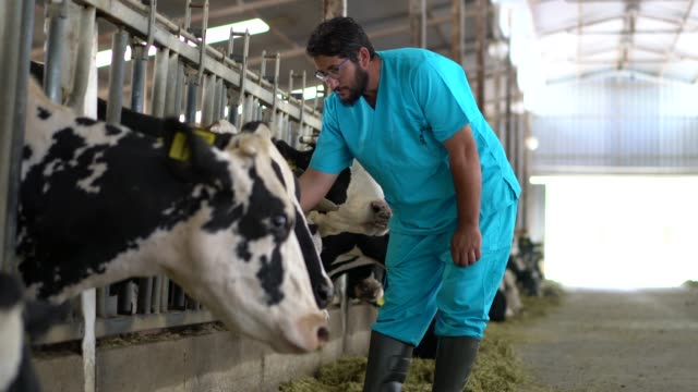 vet checking cows into to barn - farmer hay stock videos & royalty-free footage