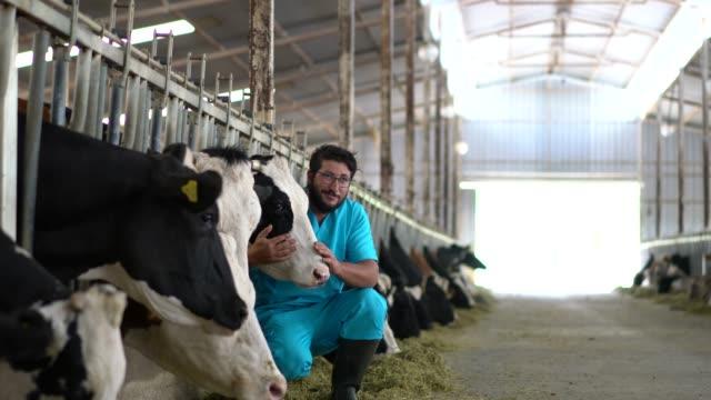 vídeos y material grabado en eventos de stock de vet checking cows into to barn - ganado domesticado