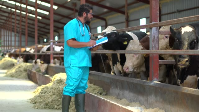 vet checking cows into to barn - livestock stock videos & royalty-free footage