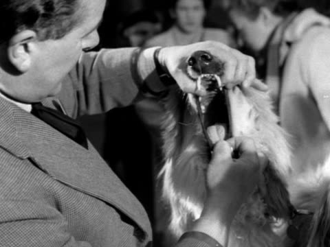 a vet examines an afghan hound at the crufts dog show - crufts hundezuchtschau stock-videos und b-roll-filmmaterial
