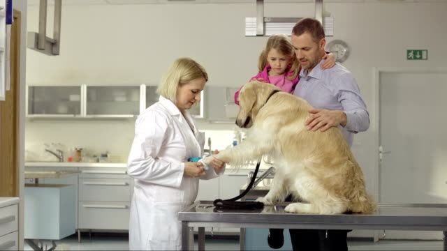 vet examining a dog's foot - paw stock videos and b-roll footage