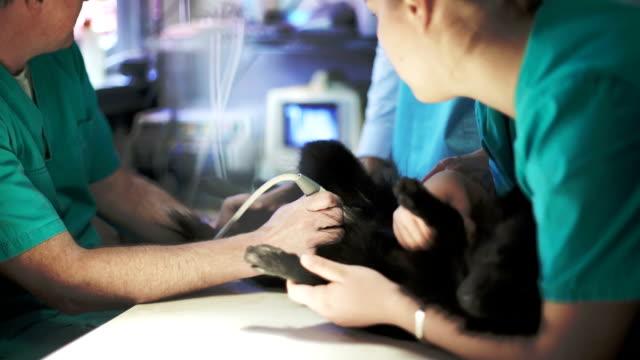 stockvideo's en b-roll-footage met uitvoeren van de echografie op hond dierenarts - onderzoekstafel