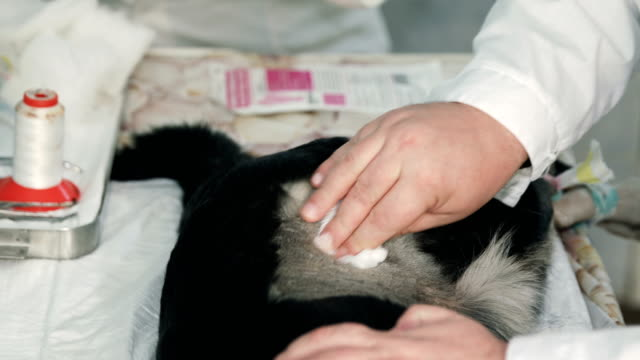 Vet preparing sleeping dog for surgery cleaning fur from its body