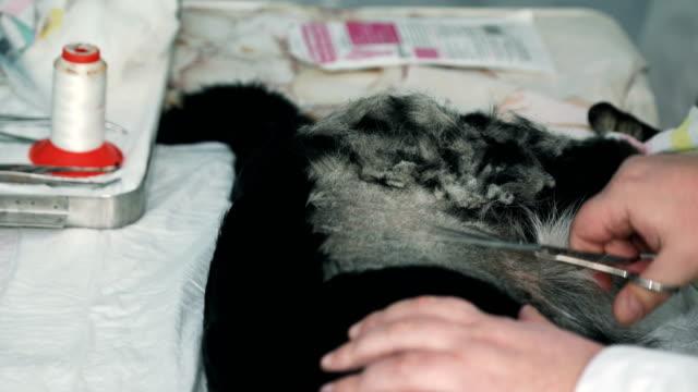Vet shaving sleeping dog to prepare it for surgery