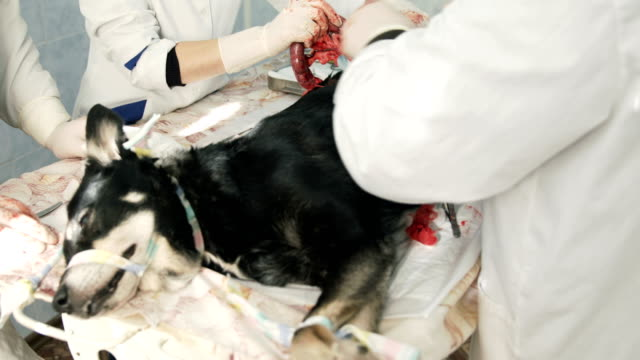 Vet surgery. Dog ovary removal