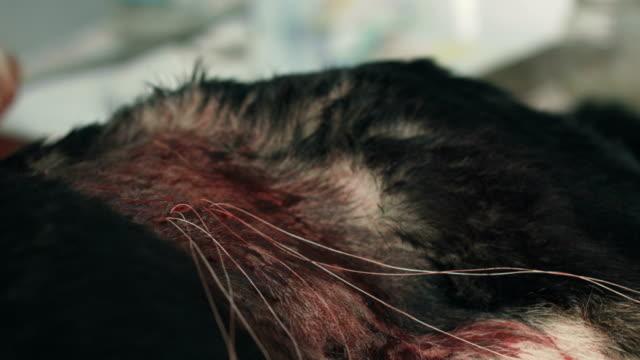 獣医の手術。動物の体の医療針のスレッド - 卵巣点の映像素材/bロール