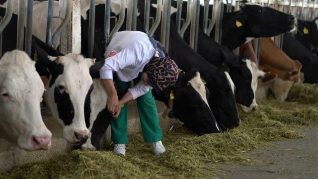 Dierenarts vrouwen controleren koeien in de schuur