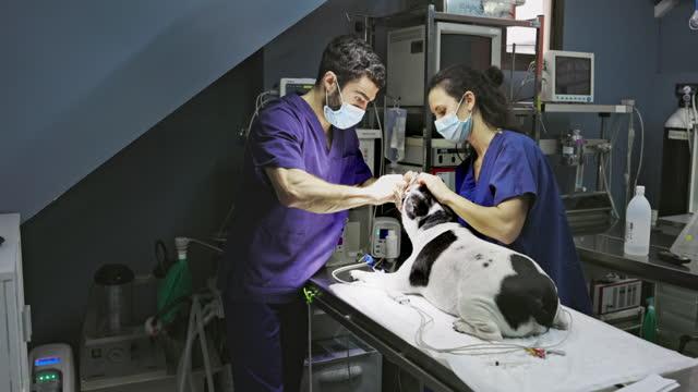veterinär och tekniker förbereder hund för operation - sjukhuskläder bildbanksvideor och videomaterial från bakom kulisserna