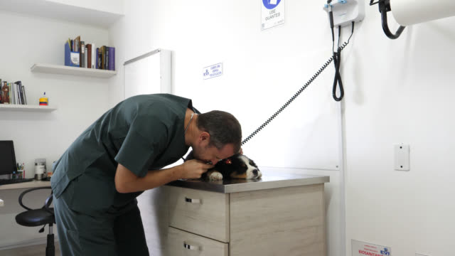 Veterinarian checking a puppy's ear with an otoscope