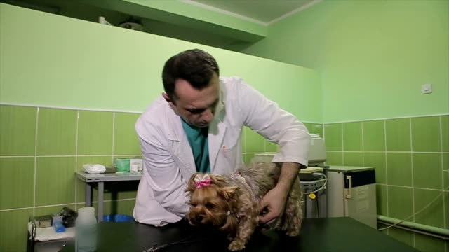 Veterinarian checking up Yorkshire Terrier dog at vet clinic.