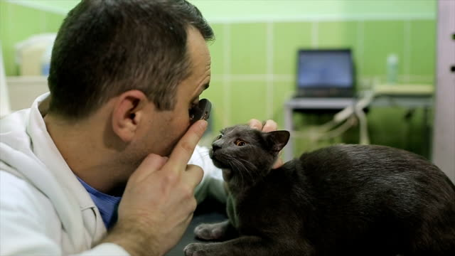 veterinarian examines the eyes of a beautiful Russian blue cat