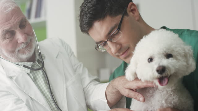 veterinarian examining a dog - havanese stock videos & royalty-free footage