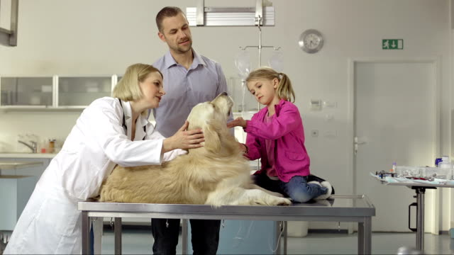 veterinarian examining a family dog - retriever stock videos and b-roll footage