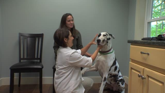 vídeos de stock, filmes e b-roll de ws veterinarian examining dog at clinic / norwich, vermont, usa - female animal