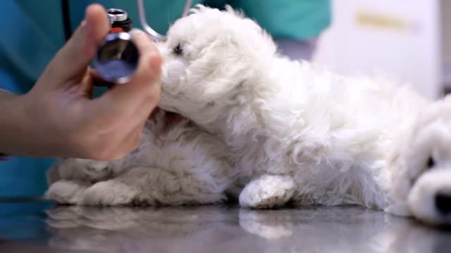 stockvideo's en b-roll-footage met dierenarts examencommissie pups oor - onderzoekstafel