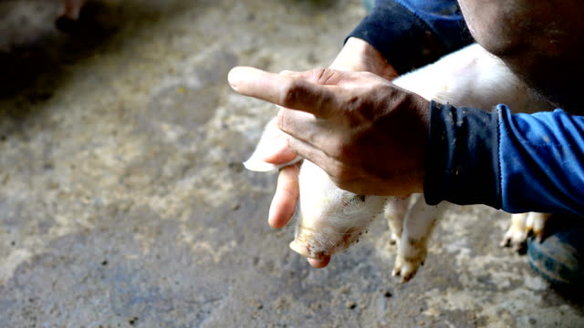 veterinarian giving injection to piglet on farm - antibiotic stock videos & royalty-free footage
