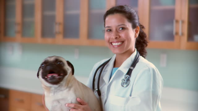 ms veterinarian pets pug dog and smiles at camera - veterinarian stock videos & royalty-free footage