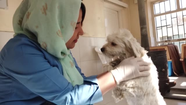 veterinarian tahera rezai who heads the kabul small animal clinic says she fears that the taliban will stop women from working if the militants... - working animal stock videos & royalty-free footage