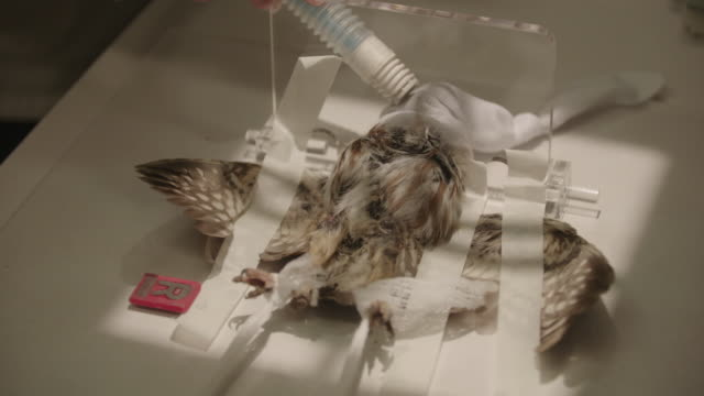 veterinarian takes x-ray of small owl - sticky tape stock videos & royalty-free footage