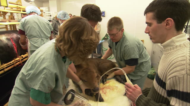 ha veterinarians and researchers attending to newborn calf / united states - cloning stock videos and b-roll footage