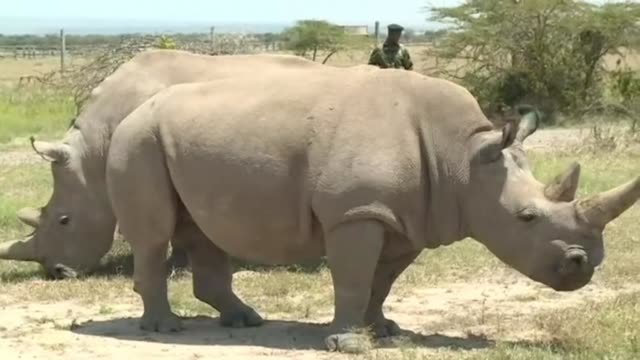 veterinarians have successfully harvested eggs from the last two surviving northern white rhinos taking them one step closer to bringing the species... - living organism stock videos & royalty-free footage