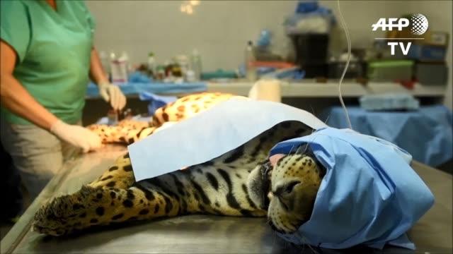 veterinarios del zoologico de el salvador realizaron una operacion a greco el ultimo jaguar macho del pais por una infeccion osea - el greco stock videos & royalty-free footage