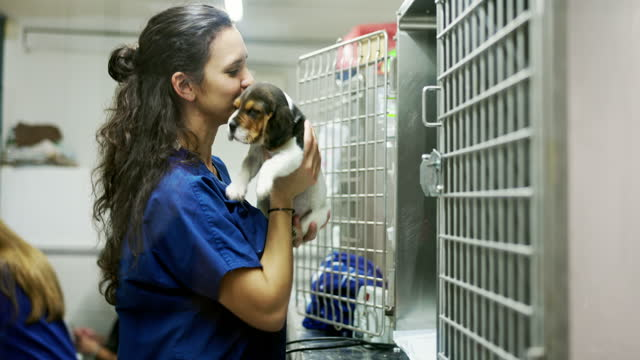 veterinary assistant placing beagle mix puppy in kennel - clinic stock videos & royalty-free footage