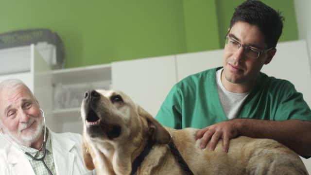 veterinary examine labrador - animal hospital stock videos & royalty-free footage